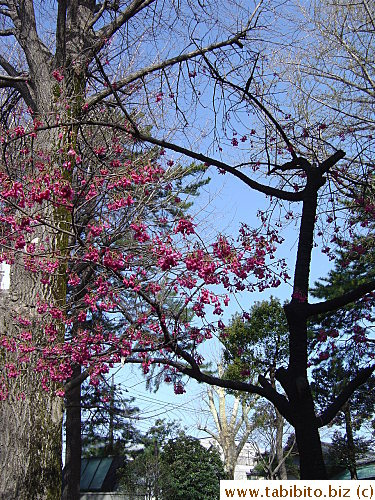 The hot pink cherry tree