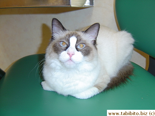 Bobo sits on the vet's chair in the exam room